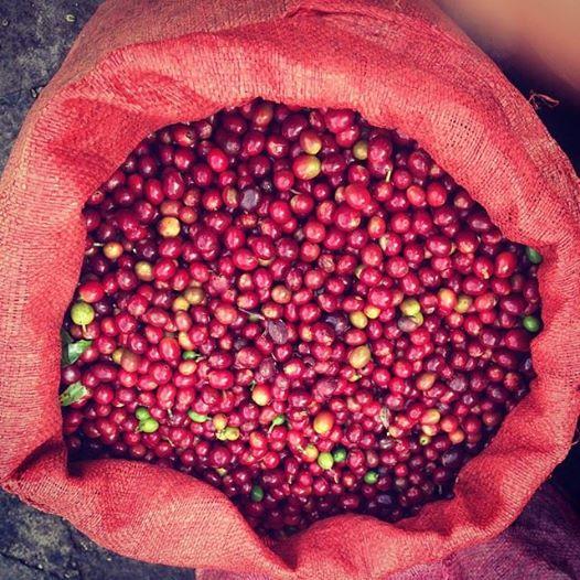 fruto de cafe